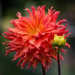 Growing and Propagating Dahlias