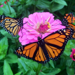 A Monarch's Journey: From NC to Mexico and Back